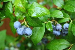 Blueberries turning blue