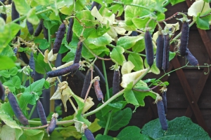 Prolific Blauwschokker peas