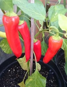 Hungarian Hot Wax chillies