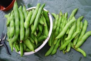 Nice big harvest of broad beans