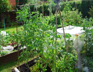 Some of the tomato plants in their new position outdoors