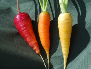 'Rainbow mix' carrots , sown as a seed tape