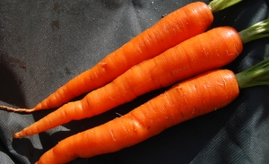 Some of today's Sugarsnax 54 carrots