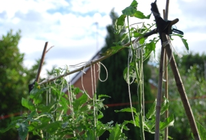 Tomato plants tied to frame for support