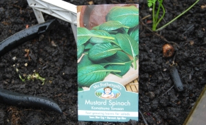 Mustard Spinach, sown today