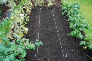 String marks a row of radishes and another of broccoli raab