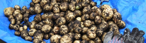 Maris Piper maincrop potatoes, just lifted.