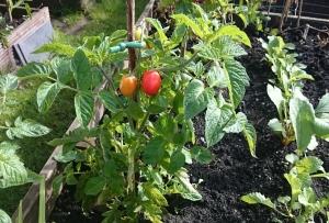 Compact Heinz tomato plant