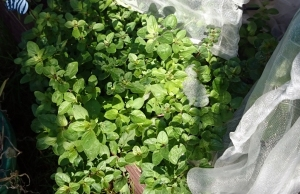 Oregano, growing strongly and ready for picking
