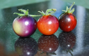 Colourful Indigo Blue cherry tomatoes