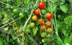 Sweet Million tomatoes ripening on the vine