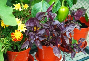 Purple-leaved basil growing in one of the greenhouses