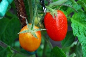Heinz 3402 tomatoes ripening
