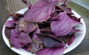 Freshly picked purple basil leaves