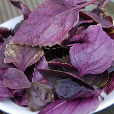 Freshly picked purple basil leaves