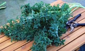 Seaweed Kale, which is nothing to do with seaweed
