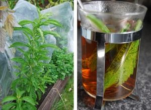 Left: A leafy Stevia plant.  Right: Leaves steeping in a cup of tea.