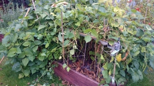 Cuttng back the jungle of bean plants
