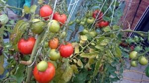 Tigerella tomatoes still ripening