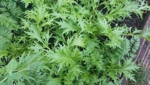 Mizuna lettuce, growing like mad