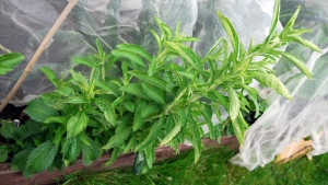 Stevia plants ready for cutting
