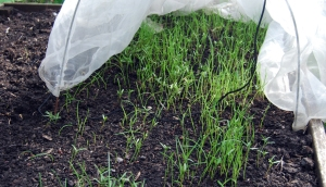 Fast-growing green manure, 10 days after sowing.