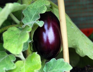 The beautiful colour of aubergines