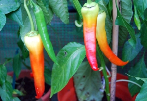 Stunning Semaroh sweet peppers