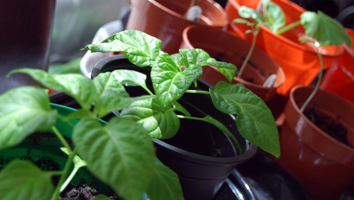 Chillis growing nicely in indoor sunlight