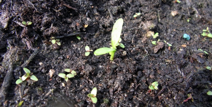A tiny parsnip seedling surrounded by even tinier dandelion seedlings, each destined to be a huge weed