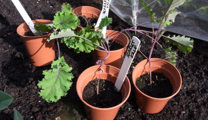 Scarlet Kale plants ready to go into the ground