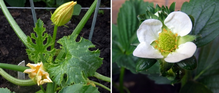 Now in flower: courgettes and strawberries