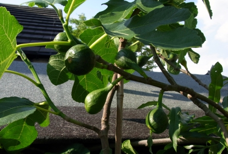 Figs climbing over the shed