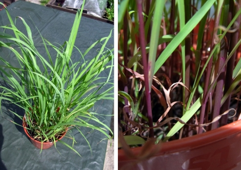 Lemongrass growing well, with stalks thickening up (left)