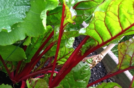 Beautiful colours in this Swiss Chard