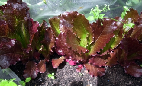 Colourful 'Rosedale' lettuce
