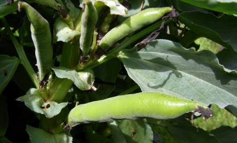Broad bean bounty