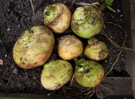 Petrowski turnips