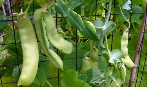Oregon mangetout, fattened up into peas