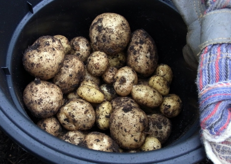 Nice harvest of Rocket potatoes