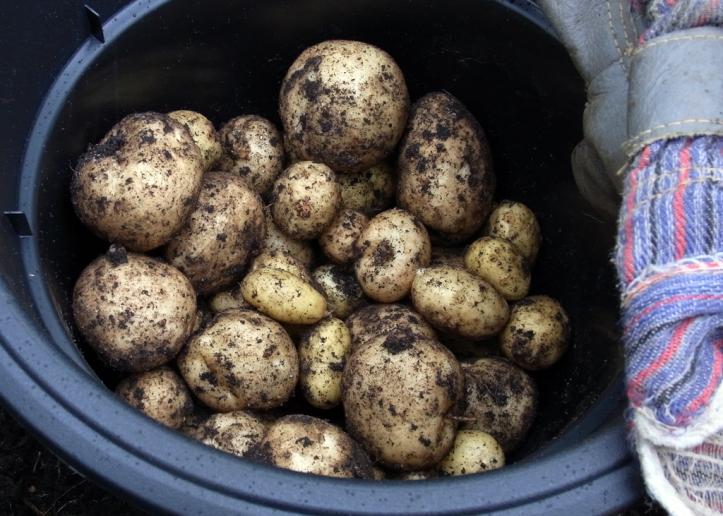 Nice harvest of Rocket potatoes