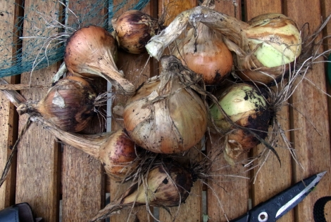 Over-wintered onions, just lifted