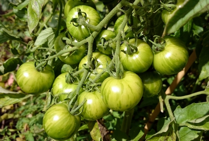 Tigerella tomatoes will soon start to turn red