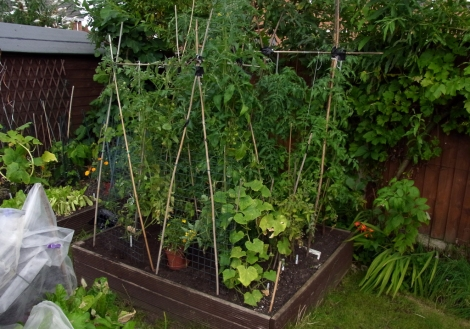 Tomato bed, with a couple of cucumber plants on the nearest corner