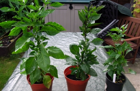 Chilli plants. Left to right: Peach Bhut Jolokia, Pink Tiger, Maya Pimento.