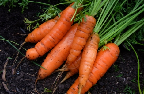 Early Nantes carrots