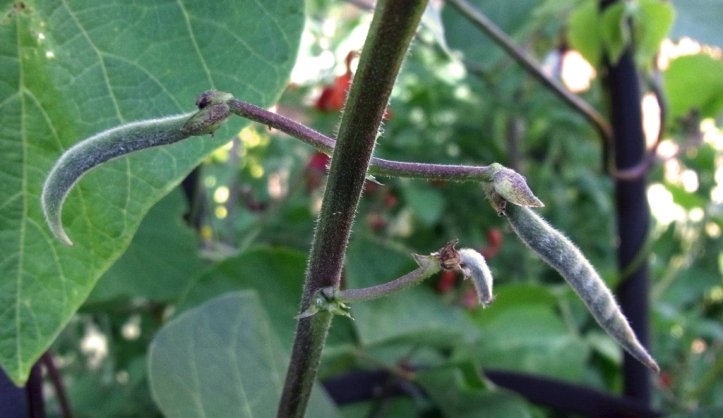 Tiny new runner beans, just an inch long for now