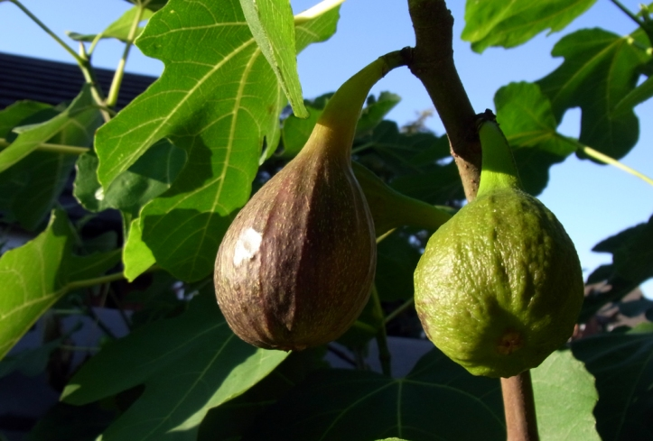 Figs basking in the warm evening sun