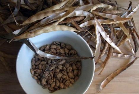 Shelling Bobis d'Albenga beans