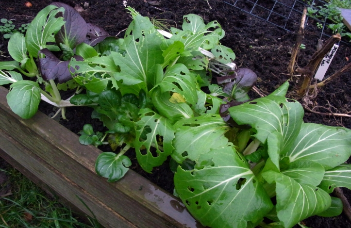 Somebody got to the Pak Choi before me